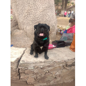 ¡hermosos Cachorros Pug Negros, Meses Sin Intereses!