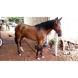 Cavalo Mangalarga Mineiro - Marcha Picada