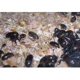 Cucarron Escarabajos O Gorgojos Chinos De Mani Alimento