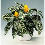 Plantas Interior Afelandra