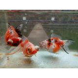 Peces De Agua Fria Goldfish Reproductores