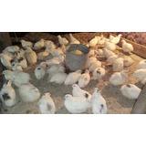 Ovos De Codornão Branco Gigante Galados - Compre 12 Leve 15