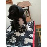 Cachorro American Bully Bogotá Kenedy Últimos 3115589668