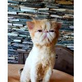 Bellisimo Gato Persa Extremo Macho Listo Reproduccion Pedigr