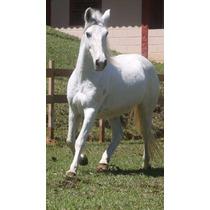 Cavalo Manga Larga Marchador (picada)
