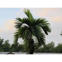 Muda De Palmeira Rubra - 15 A 25cm - 12x S/ Juros!