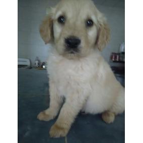!!!! Ofrese!!!!hermosos Cachorros Golden