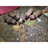 Perros Boxer 6machos Cachorros Edad2 Meses Entrega Inmediata