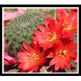 25 Semillas De Cactus Rebutia Grandiflora Flor Roja
