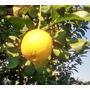 Arbol De Limón - Limonero - Planta De Limón - Caba