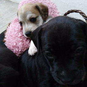 Cachorros Beagle En Adopcion