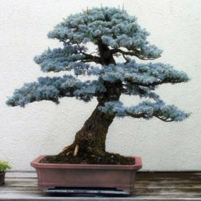 10 Sementes Pinheiro Azul Bonsai - (spruce Blue)