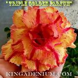 10 Sementes De Rosas Do Deserto Cores Mix Frete Gratis