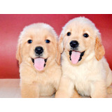 Excelentes Cachorros Golden Retriever - Fotos Reales