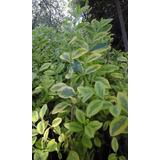 Ligustrina Amarilla Cerco Vivo, Ligustro 40 Cm