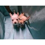 Cachorros Chihuahuas Mexicanos De Cartera