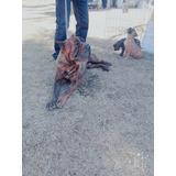 Se Venden Perros Presa Canario