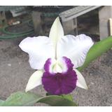 Orquídea Lc. Mem. Robert Strait `blue Hawai´