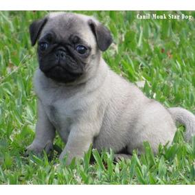 Pug Mini Abricot Macho, Lindos Filhotes, Pedigree