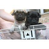 **cachorros Pugs**pugs** Promocion 4200***