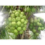 10 Mudas De Coqueiro Coco Anao Verde Da Bahia ***promoção