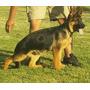 Cachorros Ovejero Aleman Listo Para Entregar