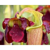 Semillas De Plantas Carnívoras, Sarracenias Droseras Exótica