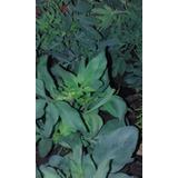 Plantines De Ruda Macho Y Hembra