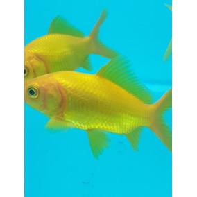 Goldfish Cometas Oro Peces Agua Fría Cometas Oro 8 Cm