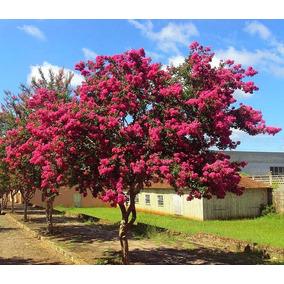 Muda De Resedá Rosa (floresce No Primeiro Ano)