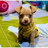 Chihuahuas Muy Bonitos.