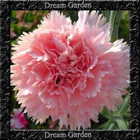 Cravo Chabaud Gigante - Sementes Flor Para Mudas