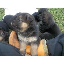 Cachorros De Ovejeros Alemanes