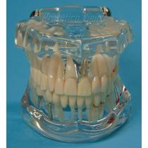 Manequim Modelo Odontológico P/ Clinicas E Consultórios