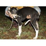 Galgo Cachorro Macho En Adopción