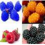 Frambuesas De Colores, 100 Semillas Japonesas