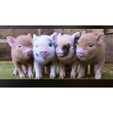 Mini Pig Cerditos Mascota