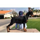 Cachorro Doberman Con Las Mejores Lineas Euro/arg 4 Meses