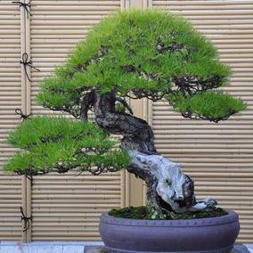 10 Sementes De Pinheiro Negro Japonês + Frete Grátis