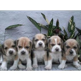 Filhote De Beagle Machinho .tricolor E Bicolor ..ex.linhagem