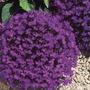 3000 Sementes Lobélia Crystal Flores Jardim Vaso Fretegratis