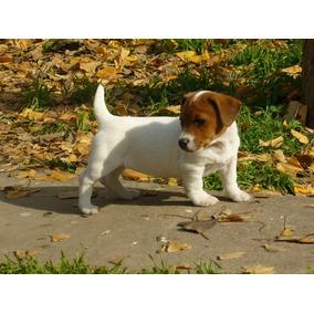 De Maaier De Maaier Cachorros Jack Russell Terrier