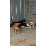 Hermosos Cachorros Chihuahuas
