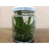 Promoção!!! Orquideas Phaleanopsis In-vitro Compre 1 Leve 2