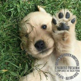 Cachorros Golden Retriever Nueva Camada Pureza Inigualable