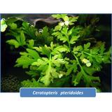 Helecho Japones Planta Acuatica Peces