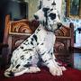 Cachorros Gran Danes Arlequin Y Boston Criadero Profesional