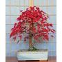 1 Arbol De Maple Japones Acer Palmatum