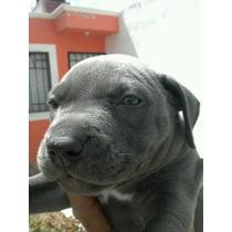 Cachorritos Pitbull Blue Un Mes