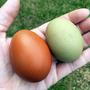 Huevos De Campo De Gallinas Criadas En Libertad